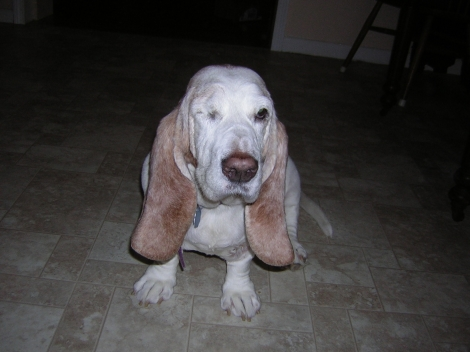 Roxanne the one-eyed basset