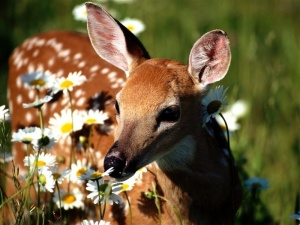 800-Petal_Pusher,_White-Tailed_Deer